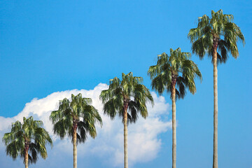 palm tree with blue sky and clouds