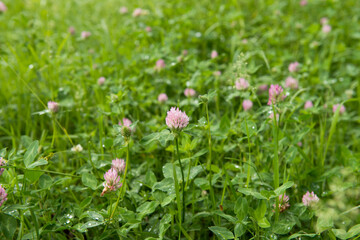 Clover growing on a meadow