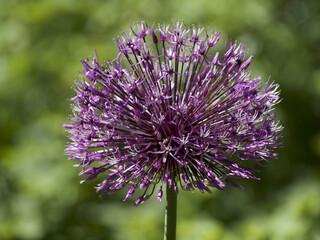 Paukenschlägel Lauch - Blüte