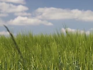 Weizen im Wind