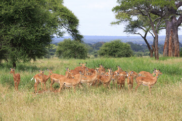Female impala heard in the wild Tanzania Africa