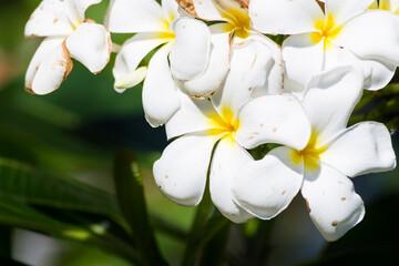 Pomelia flower