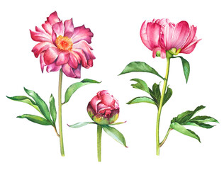 Watercolor hand painted set of red pink peony flowers isolated on white background