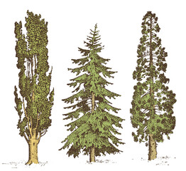 set of hand drawn trees italian cypress and stone pine , pinea, isolated vector illustration, engraved symbols of south, evergreen
