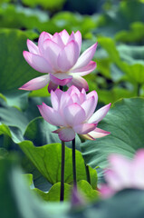Garden Poster Lotus flower Blossom lotus fkower