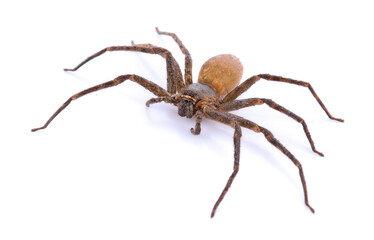 Brown spider on white