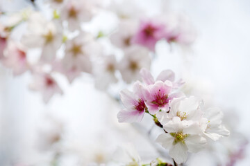 dreamy cherry blossom in spring