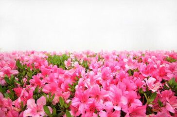 Pink rhododendron flower with copy space background