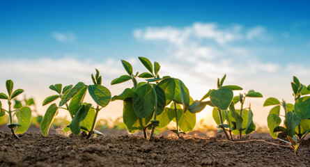 Poster Planten Small soybean plants growing in row