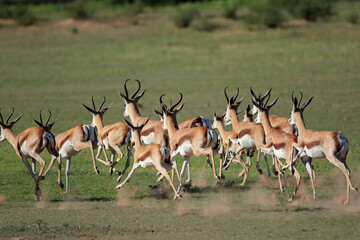 A herd of springbok antelopes (Antidorcas marsupialis) running, Kgalagadi, South Africa.