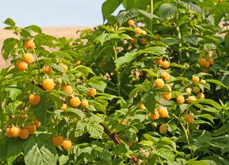 Gelbe Himbeeren, Rubus idaeus