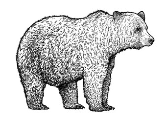 Bear illustration, drawing, engraving, ink, line art, vector