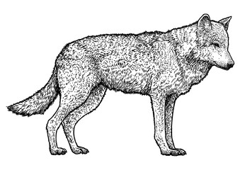 Wolf illustration, drawing, engraving, ink, line art, vector