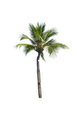 Canvas Prints Palm tree Coconut tree on white background