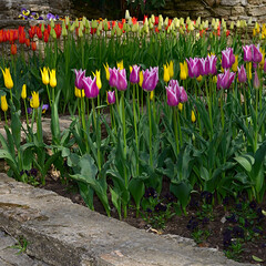 Group of pink tulips in a botanical garden in spring, bright flowers of springtime in Balchik Bulgaria.