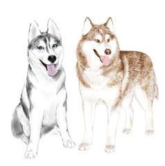 Two Adult Siberian Husky Dogs Or Sibirsky Husky dogs