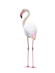 Foto op Canvas Flamingo greater flamingo isolated on white background