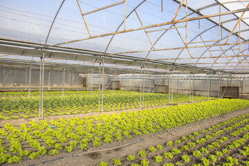 Rows of green plants on modern farm for growing lettuce