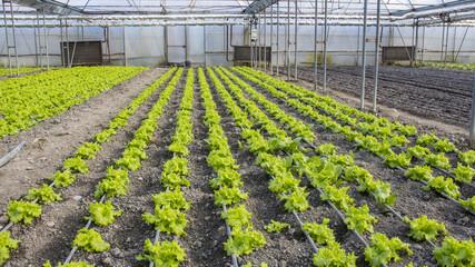 Modern farm for growing lettuce