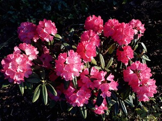 Beautiful, pink rhododendron bush