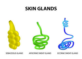 The structure of the glands of the skin. sebaceous, Eccrine sweat, Apocrine sweat. Set. Infographics. Vector illustration