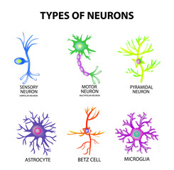 Types of neurons. Structure sensory, motor neuron, astrocyte, pyromidal, Betz cell, microglia. Set. Infographics. Vector