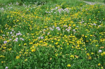 Wild Flowers in Meadowland
