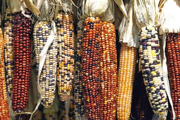 Autumn Indian corn.