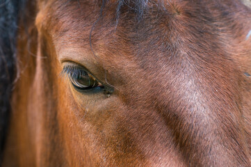 Canvas Prints Horses Eye, horse's muzzle as a background, backdrop or wallpaper. Shooting close-up.