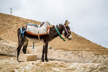 Saddled donkey stands in mountain area, Israel