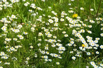 Grass daisies texture closeup