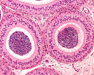 Epididymis. Pseudostratified epithelium