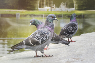 Three pigeons stand on the ground in the park, close-up.