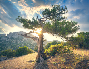 Wall Mural - Tree at sunset. Summer landscape with old tree with green leaves in mountain forest. Beautiful scene with tree, colorful foliage, mountains, trail and blue cloudy sky with sun in park in the evening