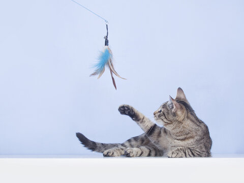 Сat plays with feather toy