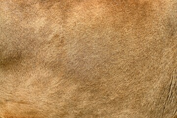 Wall Mural - Real lion skin texture