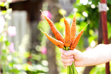 Carrots in farmers hands.