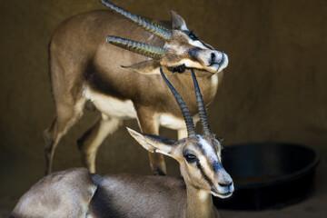 Two wild gazelles