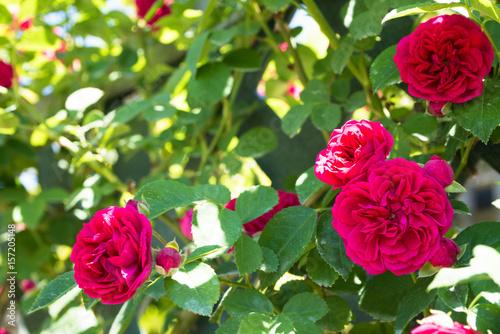 rose chevy chase stockfotos und lizenzfreie bilder auf bild 157205148. Black Bedroom Furniture Sets. Home Design Ideas