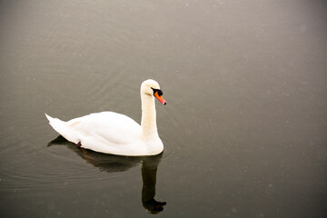 White swan swim on the lake in the city park. Proud and beautiful bird. Dark water in early spring.Toned