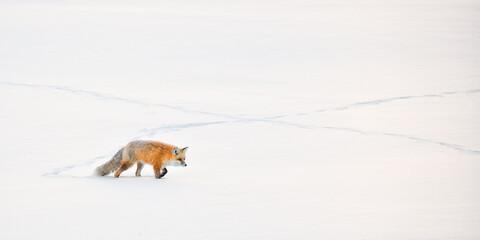 Red Fox Stalking In Snow