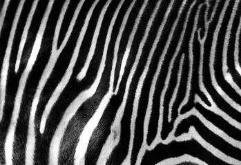 Black and white zebra skin with space for text.