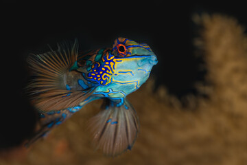 Foto op Aluminium Onder water Most beatiful fish of the sea, mandarin fish from dragonet splendisus species looking at the camera