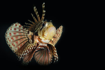 Scorpion dragon fish with black background. Lion fish with all spikes and venoms raised up ready