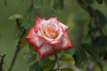 Orange and White Rose in full bloom