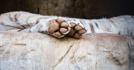 Лапы бенгальского тигра