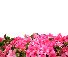 In de dag Azalea Pink rhododendron flower with copy space background