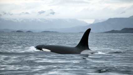Orca (Orcinus orca) killer whale, Tysfjord, arctic Norway.