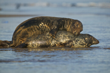 Grey Seal (Halichoerus grypus) mating on the shore