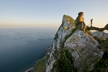 Barabry Ape (Macaca sylvana) at the top of the Rock, Gibraltar.